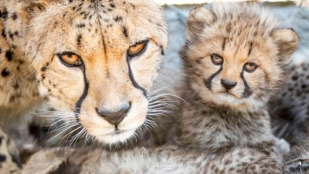The cheetah Sia and her cub at Colchester Zoo, which is fighting for its future during the coronavir