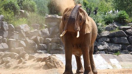 The elephants are one of the main attractions for visitors at Colchester Zoo, in Essex, which is fea