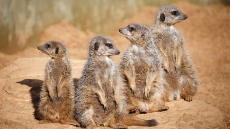 Meerkats at Colchester Zoo in Essex. Picture: NEIL YOUNG