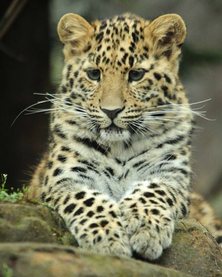 The Amur leopard cub at Colchester Zoo, which is struggling as a result of the coronavirus pandemic.