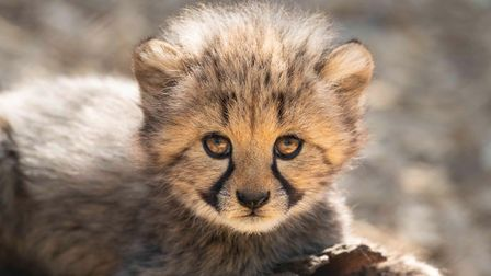 Cheetah cubs at Colchester Zoo, where bosses are concerned for the future following the impact of co