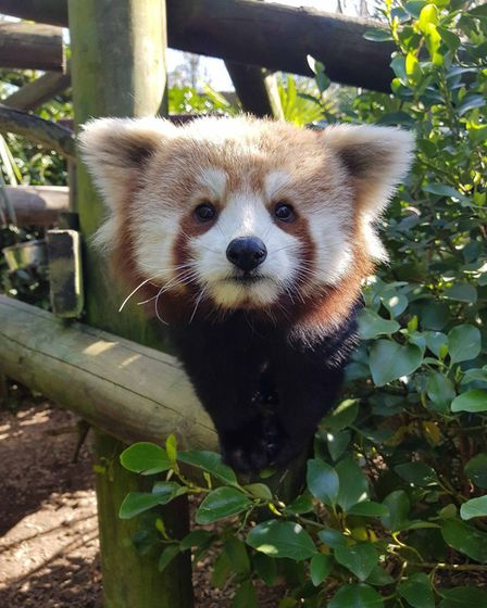 The Kamala Red Panda at Colchester Zoo. Picture: COLCHESTER ZOO