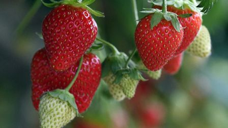 There are several farms in Essex and Suffolk which are open for strawberry picking this weekend. Pic