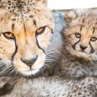The cheetah Sia and her cub at Colchester Zoo, which is set to reopen Picture: PHIL JUDD