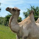 Alice the Bactrian camel at Jimmy's Farm Picture: SARAH LUCY BROWN