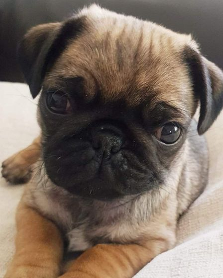 Pablo the pug, who has settled in well with the Garwood family Picture: Russell Garwood