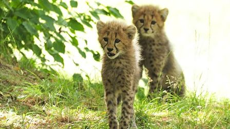 Colchester Zoo's four cheetah cubs running and playing in their larger outdoor area for the first ti