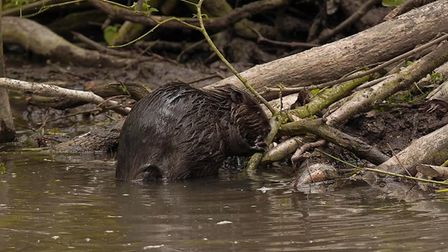 Two beavers, introduced into north Essex in 2019 have given birth to two healthy kits. Picture: RUSS
