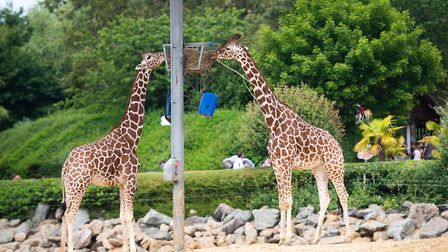 A group of up to five people can feed the giraffes at Colchester Zoo Picture: SARAH LUCY BROWN