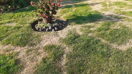 Marie's lawn after weed killer was allegedly poured over it Picture: LIZA PUTWAIN