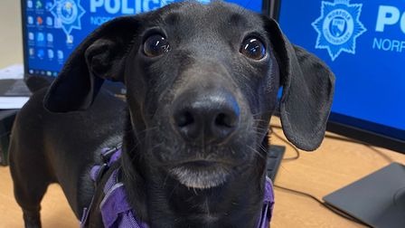 Pippin, a five-month-old Patterjack Daschund cross, who was rescued from an address in Newmarket aft