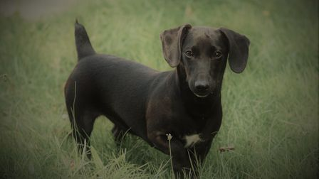 Pippin, a five-month-old Patterjack Daschund cross who was rescued from an address in Newmarket afte