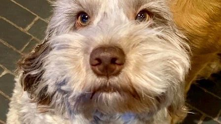 Melissa Murfet's cockerpoo Betsy who was among the canine haul of 17 dogs and puppies stolen from th