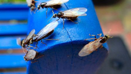 Flying ants have gathered in swarms today for their mating flight. Have you seen any in Suffolk? Pic