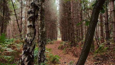 Cycle through the towering trees in Rendlesham Forest Picture: Tim Denney
