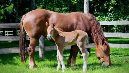 The new Suffolk Punch filly which has been born using innovative techniques Picture: STALLION AI