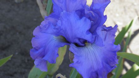 One of Barry Emerson's irises that will be sold for NHS charities. Picture; BARRY EMERSON