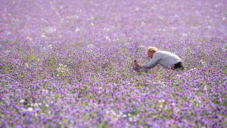 Fairking's Andrew Fairs inspects a crop of echium which is in full flower inThaxted Picture: JOE GI