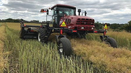 Rape swathing on Andrew Fairs' farm in north Essex Picture: ANDREW FAIRS