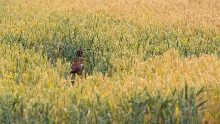 Crops near Great Glemham in Suffolk Picture: SARAH LUCY BROWN