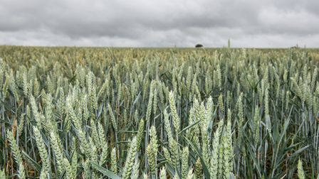 Crops near Great Glemham Picture: SARAH LUCY BROWN