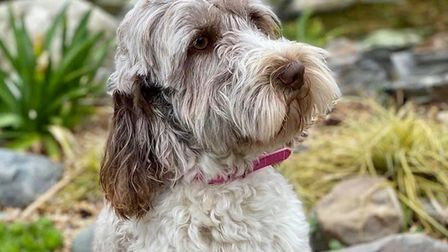 Melissa Murfet's cockerpoo Betsy, who was among the canine haul of 17 dogs and puppies stolen from t