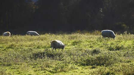 Three sheep have been killed in incidents of dogs attacking livestock in Bentley, Suffolk (file phot