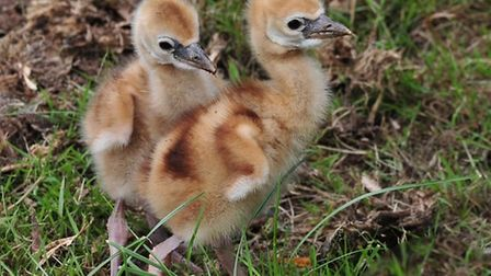 Colchester Zoo�s Crowned Crane pair, Charles and Camilla, have welcomed two healthy chicks. Picture: