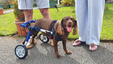 Max the cocker spaniel in his wheeled harness bought for him by villagers in Stanton. Picture: DEE B