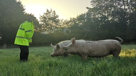 The pigs were guided into a field after being seen on the B1124 in Halesworth. Picture: SUFFOLK CONS