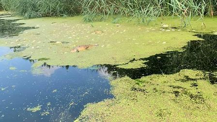 Dead fish seen in the Stour between Cattawade and Flatford Mill Picture: EDWARD WARD