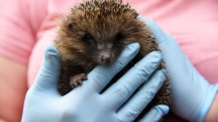 Mother hedgehog Summer and her two baby hedgehogs, Oggie and Peter, were rescued in Sudbury after fl