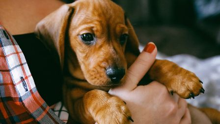 A Dachsund would have cost a potential buyer around £973 back in March - but that rose to £1,838 in