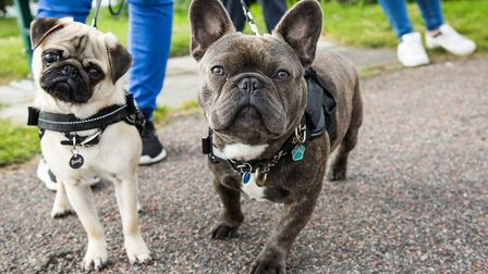 Pugs and French Bulldogs are two other dog breeds that are high in demand Picture: Getty Images