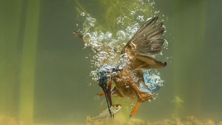A Kingfisher diving underwater, one of Mr Burton's favourite subjects to photograph Picture: VINCE