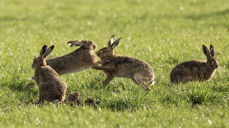 Hares playing in a field. Picture: FRANCES CRICKMORE