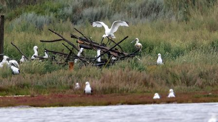 Spoonbills have successfully raised and fledged chicks for the first time in Suffolk since 1668. Pic