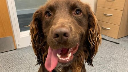 Is this your dog? Police are trying to help reunite him with his owner. Picture: ST EDMUNDSBURY POLI