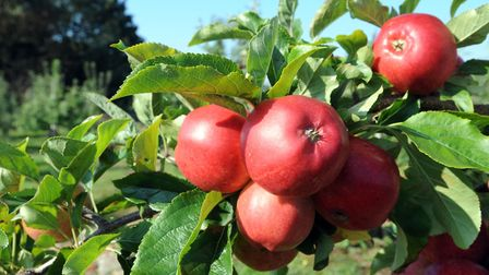 Apples at Moat Farm Picture: Henry Dobell