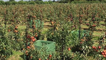 Apples at Moat Farm ready to be picked Picture: Henry Dobell
