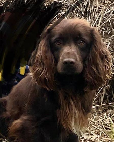 Bear, a young adult brown cocker spaniel, is one of the four dogs which has been taken. Picture: ABB