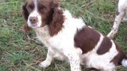 Boss is an elderly male English springer spaniel liver and white. Picture: ABBY WRIGHT