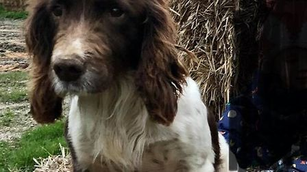 Roe is a Welsh springer spaniel liver and white. He has been taken from the Wright family's home in
