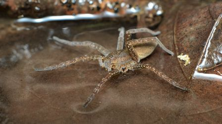 A Fen Raft spider, which can be found in Norfolk. Picture: Getty Images