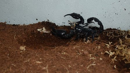 Sting the scorpion at Suffolk Rural. Picture: JOHN NICE