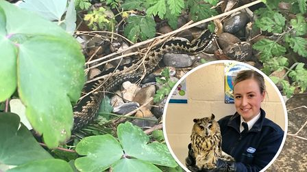RSPCA animal collection officer Paige Burnham was called out to rescue the adder last Tuesday when i