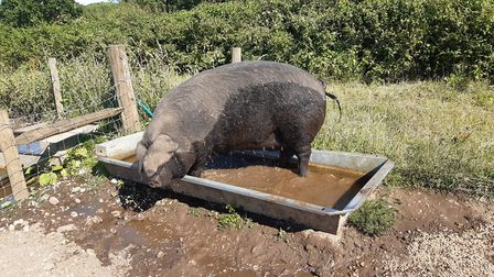 A Large Black sow enjoying the sun in her water trough. Photo: Norfolk Museums Service