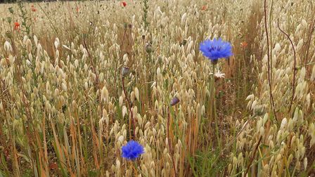 Wild corn flowers growing in the oats at Gressenhall Farm. Photo: Norfolk Museums Service