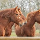 Suffolk Punches at Gressenhall Farm and Workhouse. Picture: Sarah Darnell