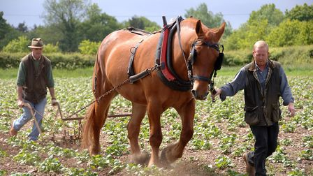 A Suffolk Punch working the field at Gressenhall Farm and Workhouse. Image: Norfolk Museums Service